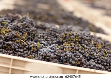 Lush Harvested Red Wine Grapes in Crates. - stock photo