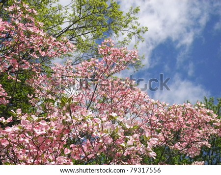Lush pink Dogwood blossoms against a spring sky filled with high, fair-weather clouds. - stock photo