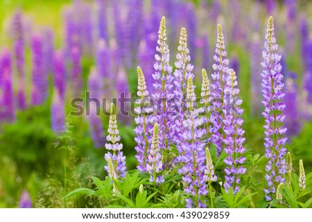 lush purple lupines in the meadow, natural background for your design - stock photo