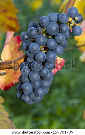Lush, ripe deep blue wine grapes (red wine) on the vine with green and red leaves, very narrow depth of field. - stock photo