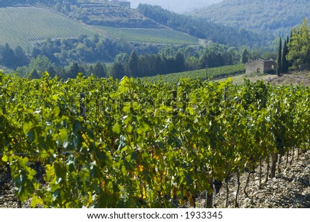 Lush ripe grapes on the vine 02 - stock photo