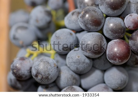 Lush ripe grapes on the vine 11 - stock photo