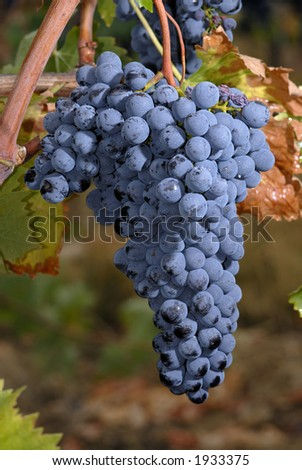 Lush ripe grapes on the vine 32 - stock photo