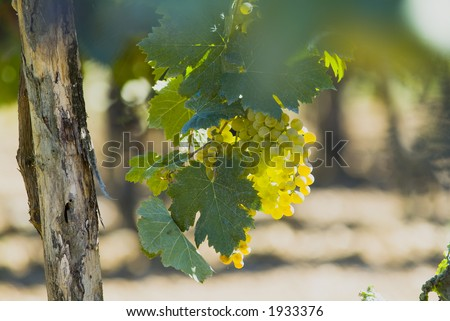 Lush ripe grapes on the vine 33 - stock photo