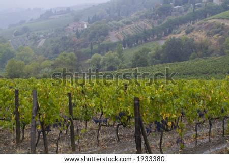 Lush ripe grapes on the vine 37 - stock photo