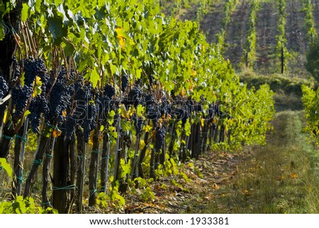 Lush ripe grapes on the vine 38 - stock photo
