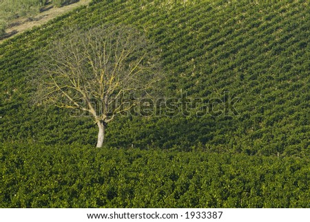 Lush ripe grapes on the vine 44 - stock photo