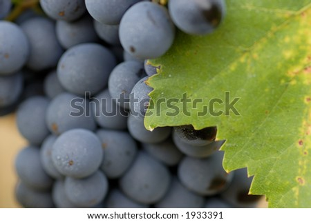 Lush ripe grapes on the vine 48 - stock photo