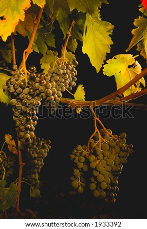 Lush ripe grapes on the vine 49 - stock photo