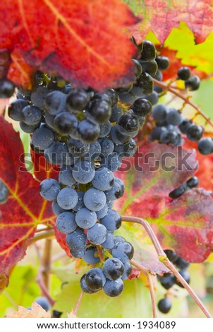 Lush ripe grapes on the vine 51 - stock photo