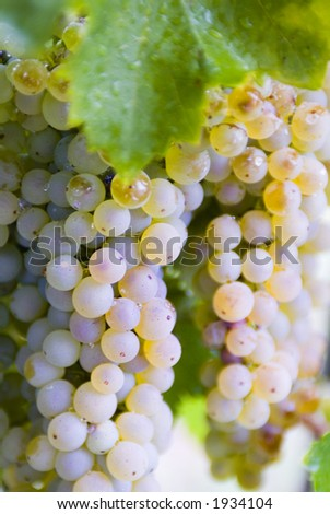 Lush ripe grapes on the vine 66 - stock photo