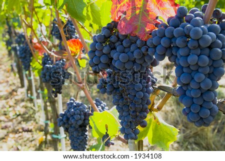 Lush ripe grapes on the vine 70 - stock photo