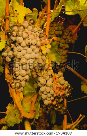 Lush ripe grapes on the vine 71 - stock photo