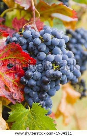 Lush ripe grapes on the vine 73 - stock photo