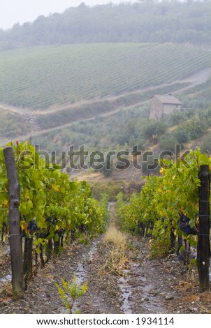 Lush ripe grapes on the vine 76 - stock photo