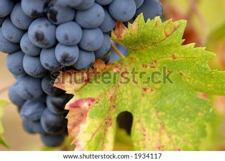 Lush ripe grapes on the vine 79 - stock photo