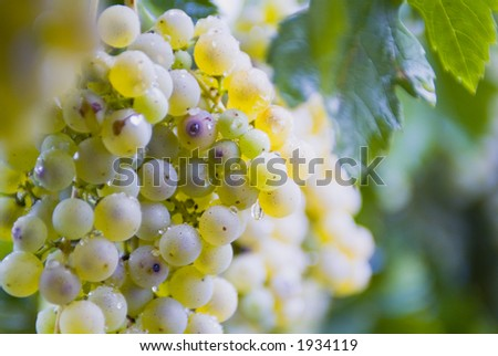 Lush ripe grapes on the vine 81 - stock photo