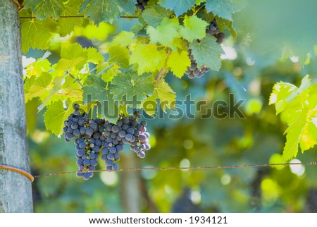 Lush ripe grapes on the vine 83 - stock photo