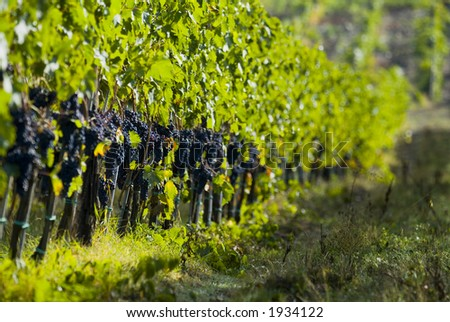 Lush ripe grapes on the vine 84 - stock photo