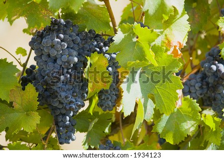 Lush ripe grapes on the vine 85 - stock photo