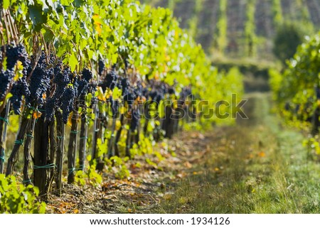 Lush ripe grapes on the vine 88 - stock photo