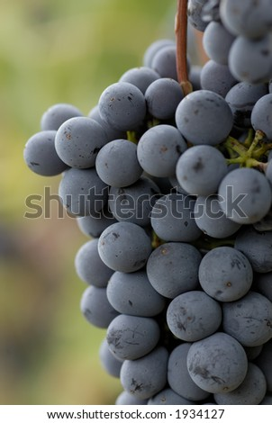 Lush ripe grapes on the vine 89 - stock photo