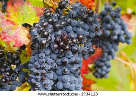 Lush ripe grapes on the vine 90 - stock photo