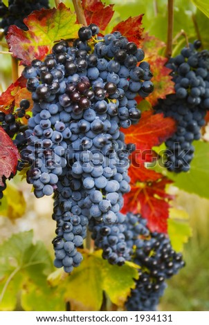 Lush ripe grapes on the vine 93 - stock photo