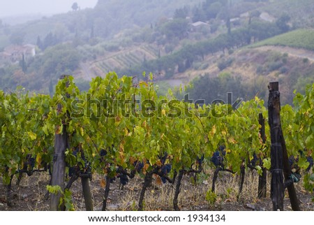 Lush ripe grapes on the vine 96 - stock photo
