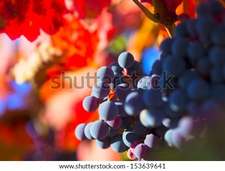 lush ripe wine grapes on the vine in sunlight with colorful blurred background - stock photo