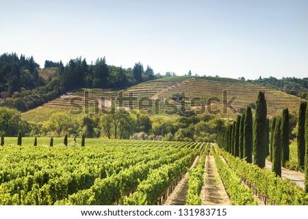 Lush, Ripe Wine Grapes on the Vine near Napa Valley, California - stock photo