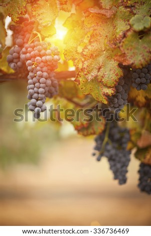 Lush, Ripe Wine Grapes on the Vine Ready for Harvest. - stock photo