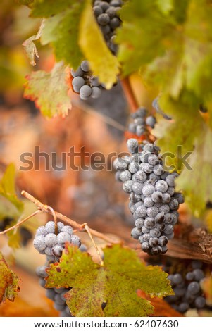 Lush, Ripe Wine Grapes with Mist Drops on the Vine Ready for Harvest. - stock photo
