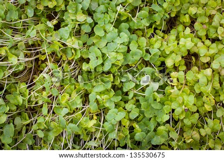 Lush Sprouts - stock photo