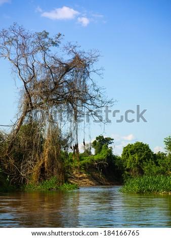 Lush vegetation at amazonian river in Bolivia - stock photo