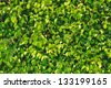 Lush verdure of fresh green leaves - stock photo