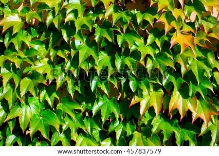 Lush wall of ivy - stock photo