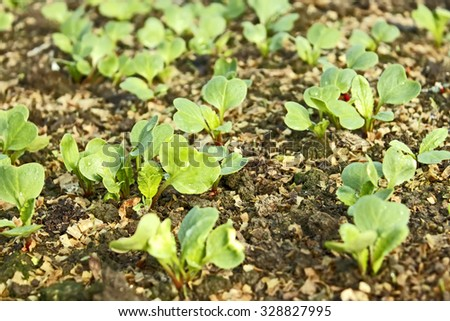 Lush young radish plants with water drops on the leaves growing in the soil mixed with sawdust, close-up - stock photo