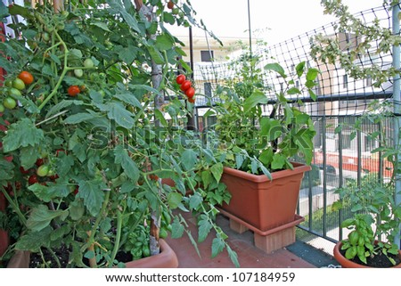 luxuriant plants with tomatoes grown in a pot on the terrace of a House - stock photo