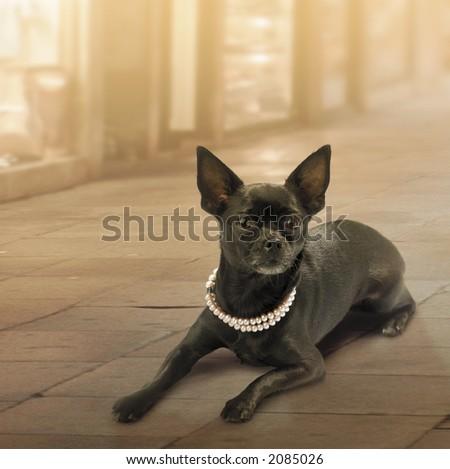Luxury dog - stock photo