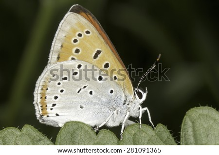 Lycaena dispar / large copper butterfly male - stock photo