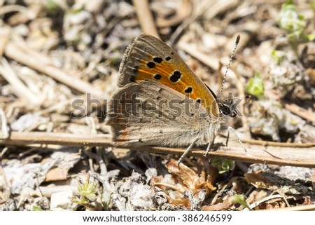 Lycaena phlaeas, Small Copper, American Copper, Common Copper butterfly from Tuscany, Italy, Europe - stock photo