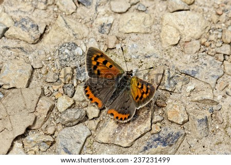 Lycaena phlaeas, Small Copper, American Copper, Common Copper, european butterfly - stock photo