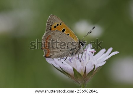 Lycaena phlaeas, Small Copper is a european butterfly, different names are American Copper and Common Copper - stock photo