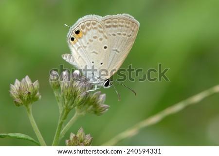 Lycaenidae ( Chilades Pandava Peripatria ) resting on flower  - stock photo