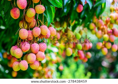 Lychee fruit on the tree in the garden of thailand, Asia fruit. - stock photo