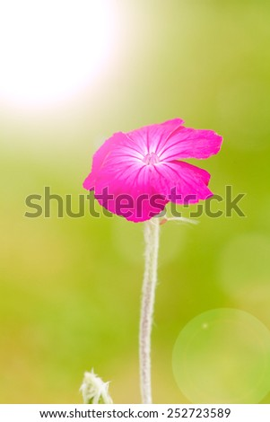 Lychnis coronaria rose flower - stock photo