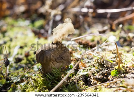 Lycoperdon perlatum, popularly known as the common puffball, warted puffball, gem-studded puffball, or the devil's snuff-box releases a cloud of spores - stock photo