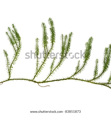 lycopodium moss lichen  isolated ont white background - stock photo