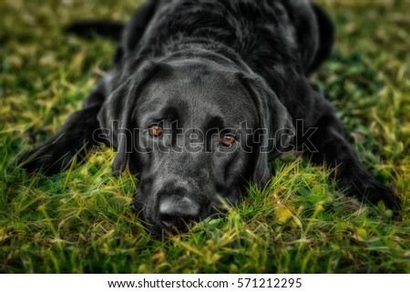 Lying black labrador retriever on grass